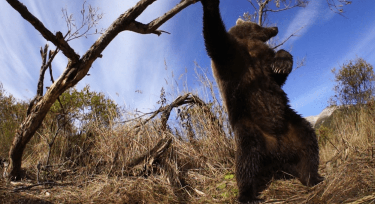 [Greenpoint Film Fest] 'Bear-Like' review: Strong doc about bears in Alaska