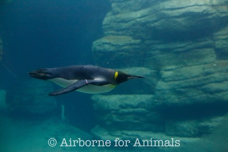 Emperor Penguin at Rotterdam Zoo