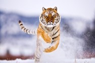 Tigers_Rferences_10