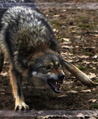 wolf_reference_5