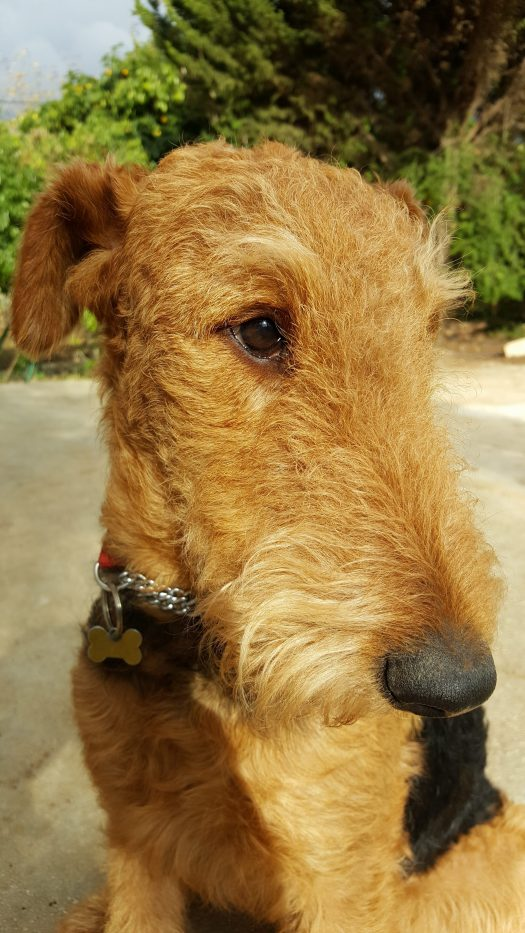 The Airedale Terrier look