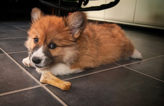 וולש קורגי welsh-corgi