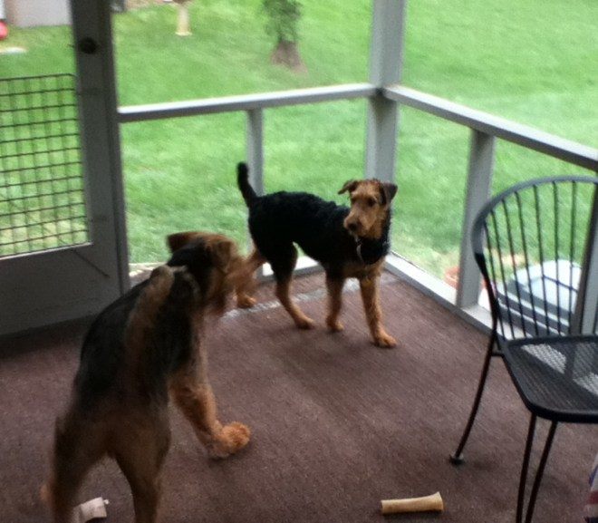 Baby Airedale – ARG finds another wonderful home for our needy 'dales 5/2012