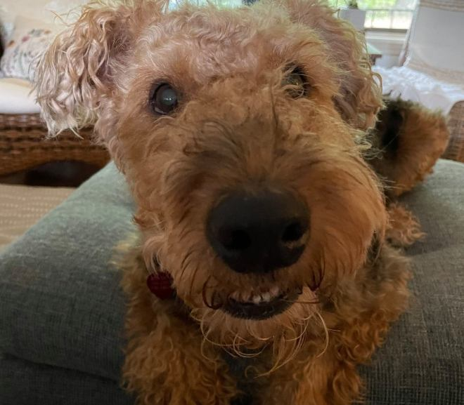 Belle, Female-Spayed, 7 yrs old, GA, Airedale Rescue Group, Available