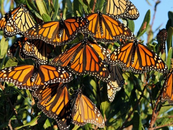 20150212cpy.. Monarch Butterflies pic, NGS