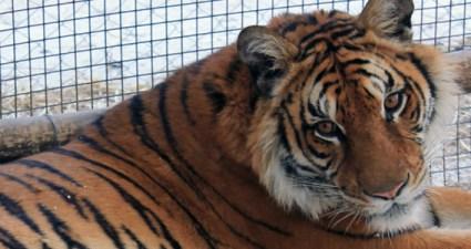Tigre Zoo Lujan