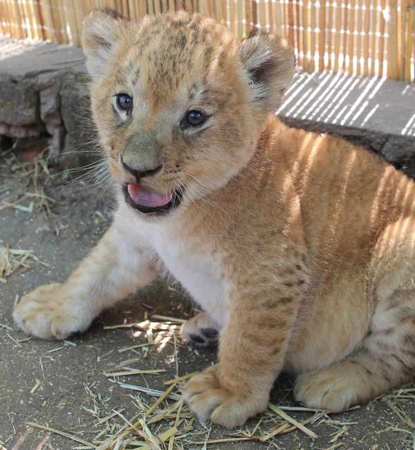 leão zoo lujan