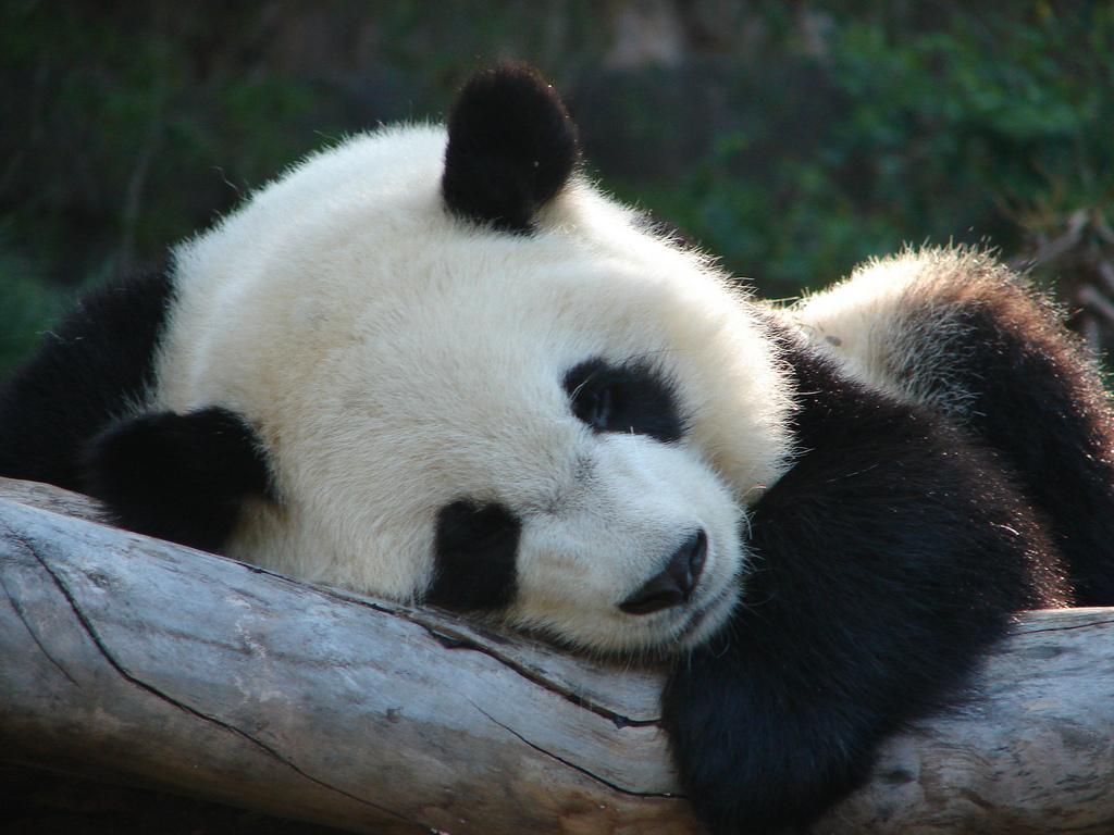 Обои спит, мишка, отдых, Панда, детёныш. Животные foto 18