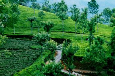 Tea Plantations in Conoor