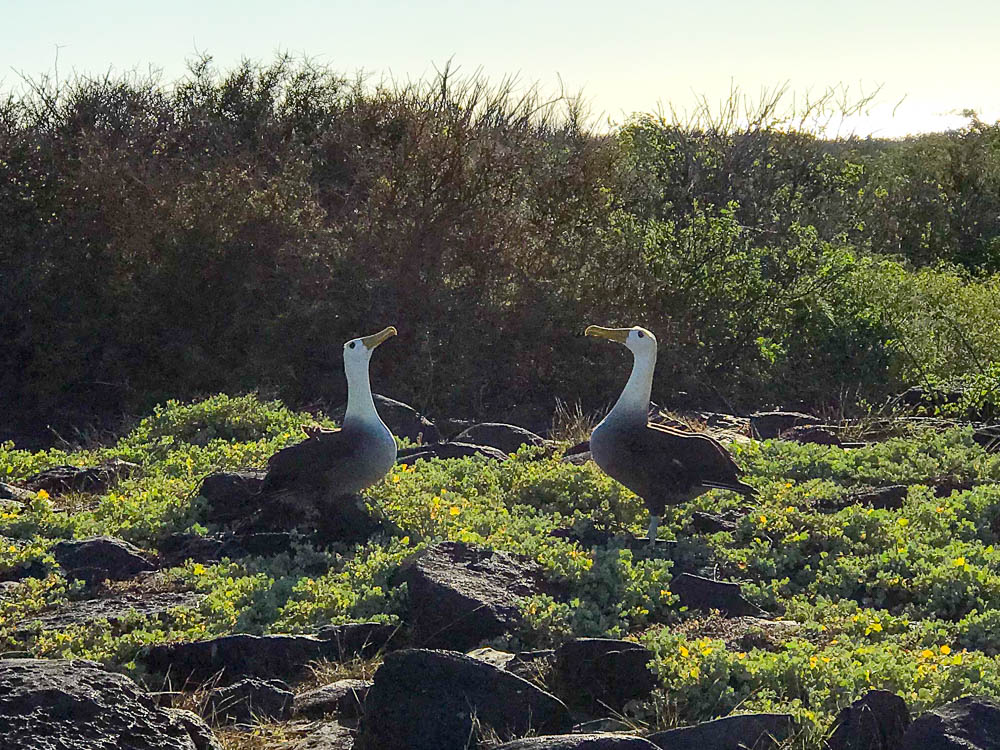 Waved Albatross Courtship Dance