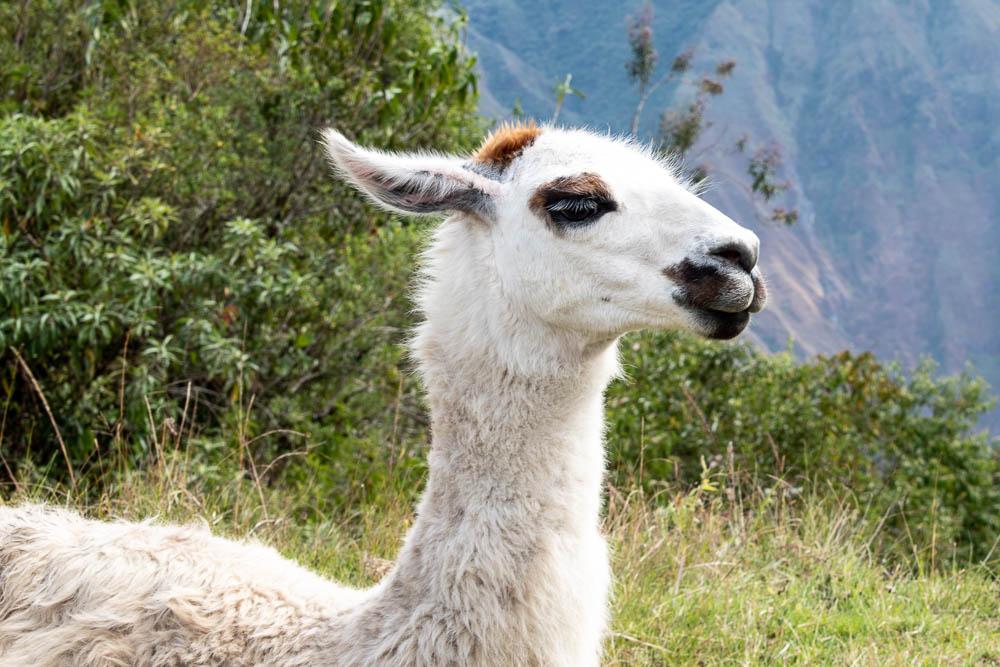 llama - Machu Picchu