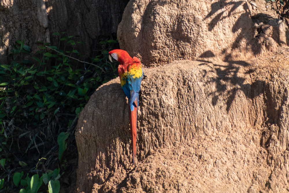 macaw on clay lick, Peruvian Amazon