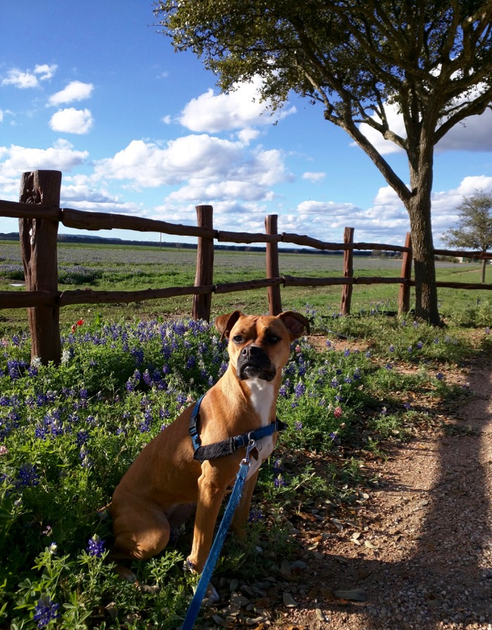dog and bluebonnets
