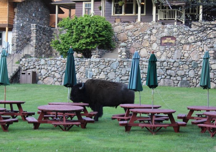 custer state park buffalo