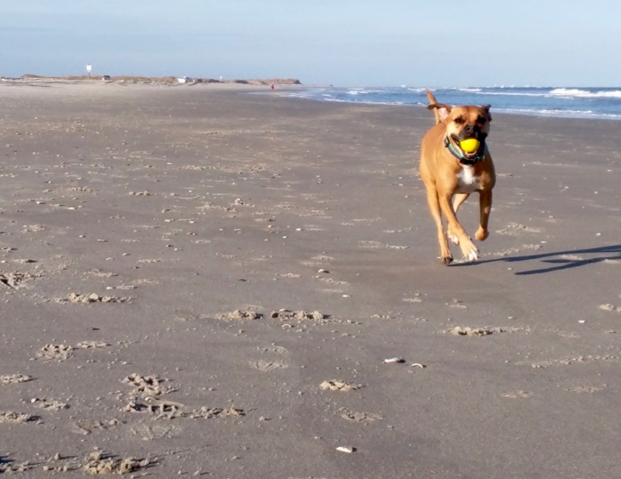 dog fetching ball on beach