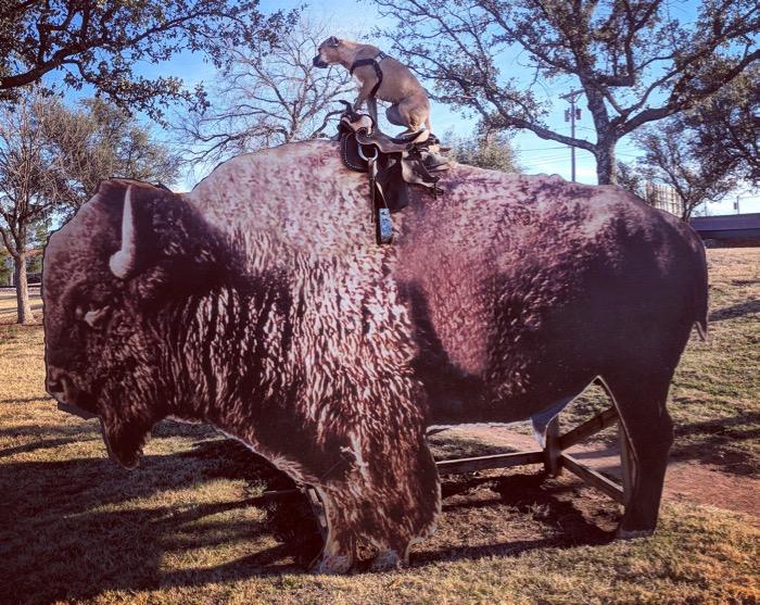 Bugsy on a buffalo in Abilene