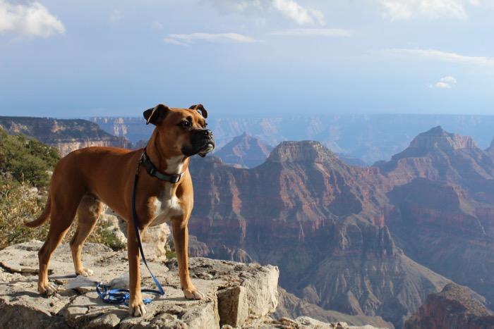 Bugsy at sunset at the Grand Canyon