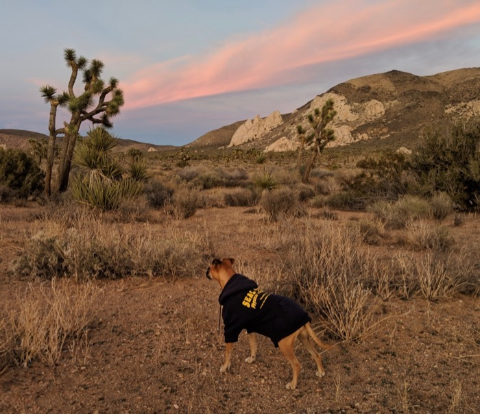 Bugsy at Joshua Tree