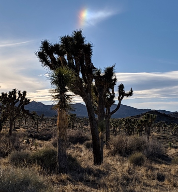 Joshua Tree under a rainbow
