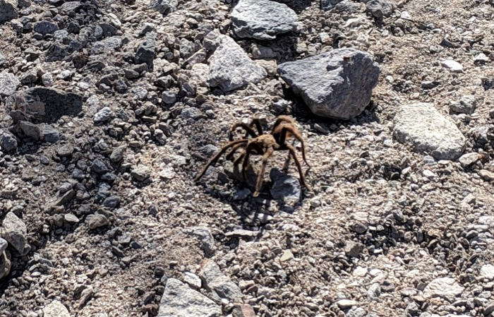 tarantula in Organ Pipe National Monument