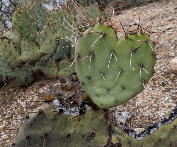 heart pad on prickly pear cactus