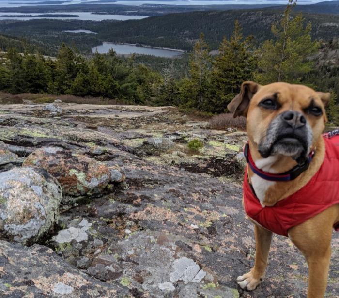 bugsy on acadia national park hike
