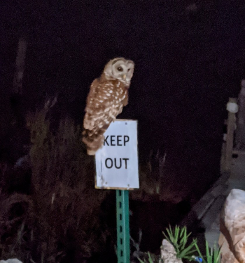 barred owl at Eastpoint Brewing