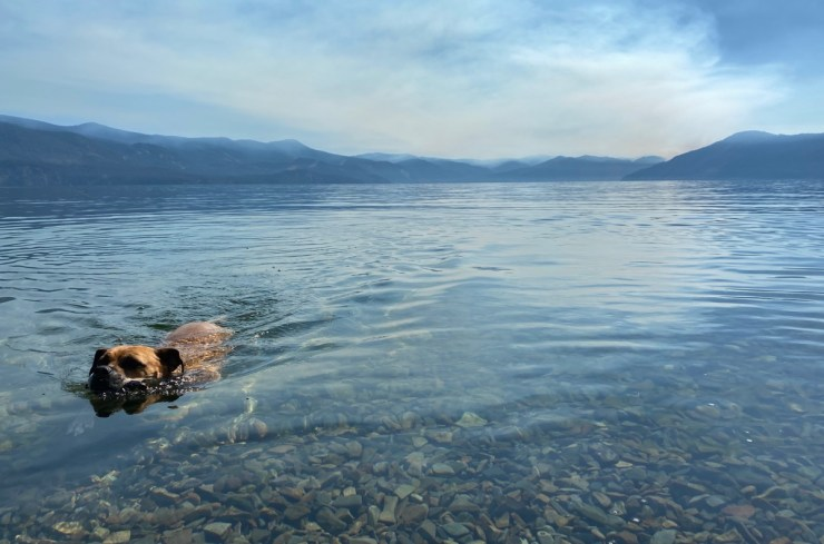 bugsy swimming in lake pend oreille
