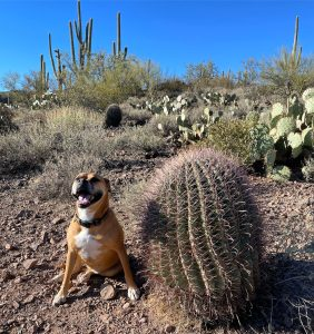 Bugsy and a cactus in Arizona