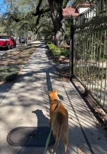 Bugsy walking down Carrollton Ave