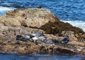 seals at Montana