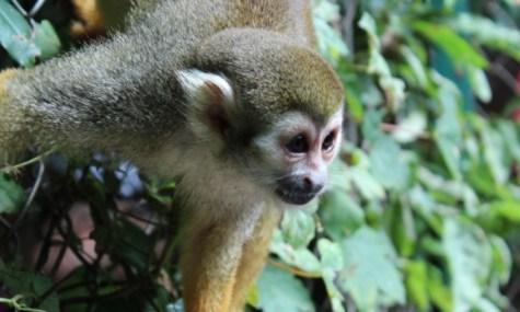 Hautnah ist hier wörtlich zu nehmen: Eines der begehbaren Gehege  (anklicken zum vergrößern) - weitere Affenbilder im Album am Ende des Artikels