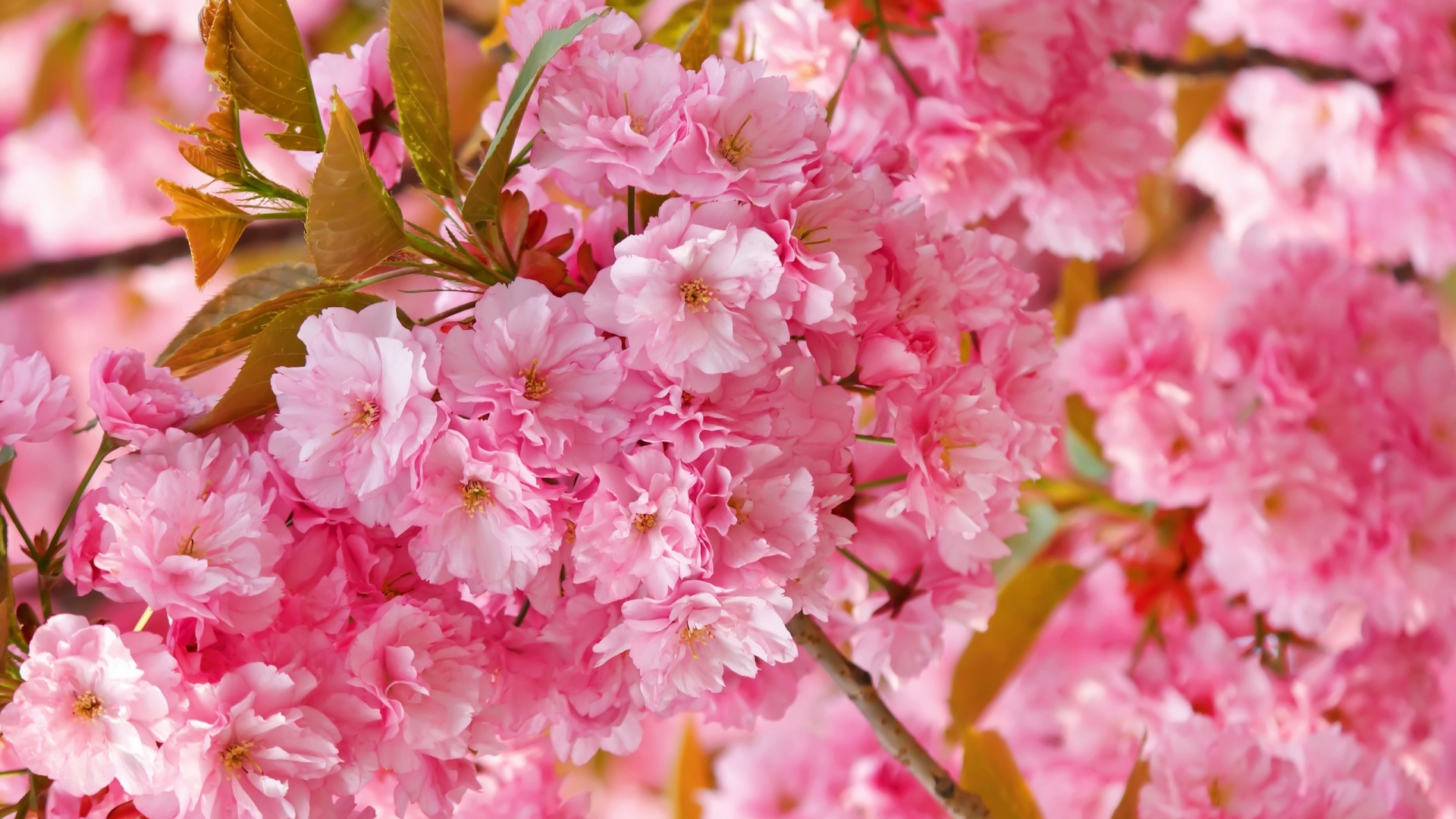 Free Wallpaper Fall Flowers Flowers Cherry Blossom Wallpapers Airwallpaper Com