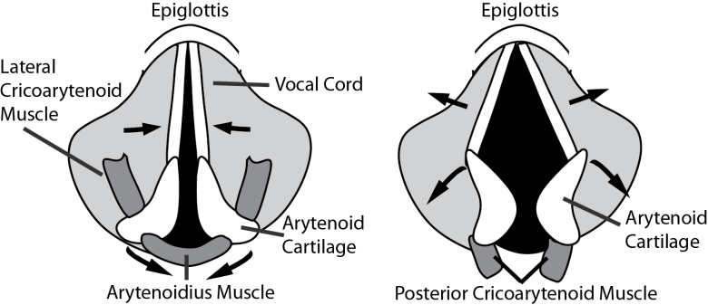 Illustration of the laryngeal muscles and how they open and close the vocal cords.