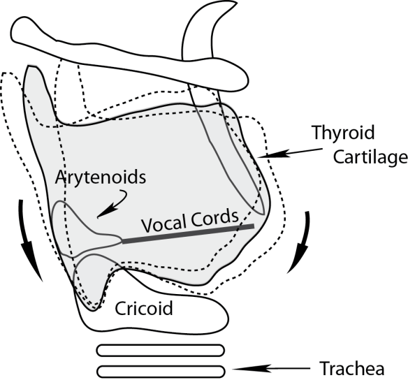 Illustration showing how the thyroid cartilage can pivot on the cricoid cartilage, changing tension and slant angle of the vocal cords.