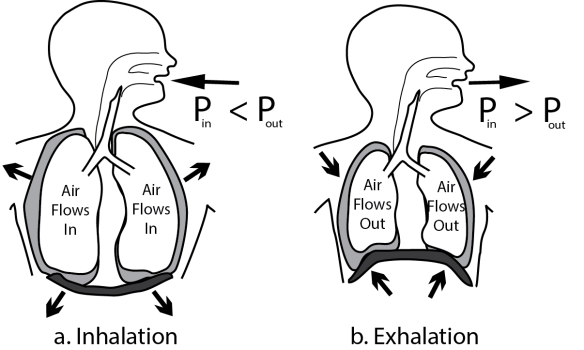 Illustration contrasting the mechanics of spontaneous ventilation showing inhalation and exhalation side by side