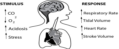 Illustration contrasting the 4 major stimuli to breathe, vs the 4 major responses taken to increase oxygen delivery