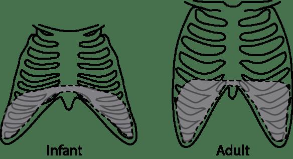 comparison infant vs adult rib angulation