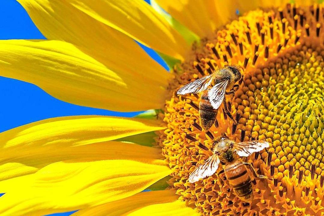 Wie Machen Bienen Honig Erklr39s Mir Badische Zeitung