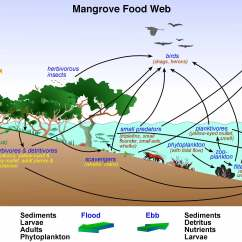 Ocean Food Chain Diagram Harley Wiring Diagrams Simple Chains And Webs The Mangrove Ecosystem