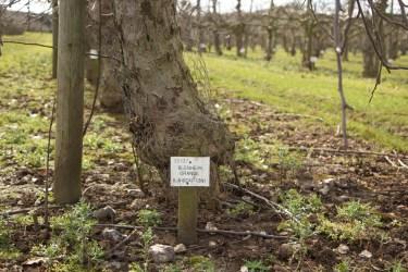 Blenheim Orange is grown and popular in UK, Europe, United States and Australia