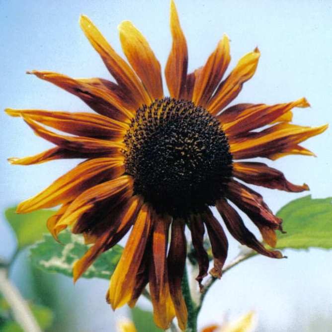 sunflower_000