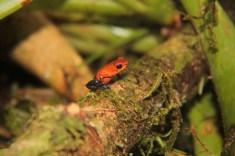 Mandatory photo: Strawberry dart-poison Frog