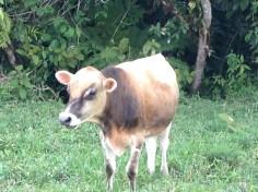 Vaca dorada, Las Cruces