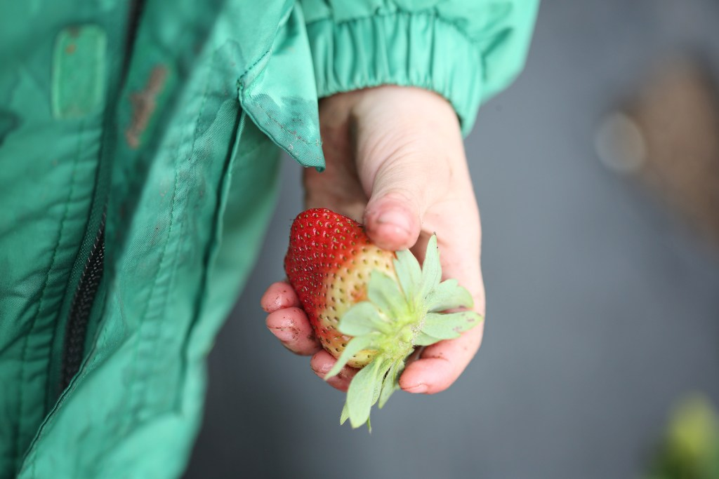 best of beaufort, sc: strawberru picking family fun- healthy ai blog