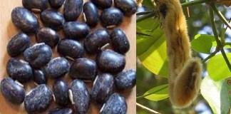 Mucuna-Pruriens-benefits