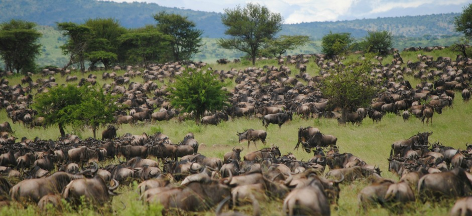 Migration in Serengeti National Park during your private safari in Tanzania