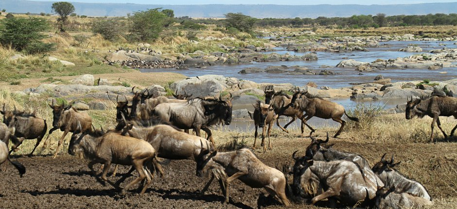 Wildebeest Migration on the run in Serengeti National Park