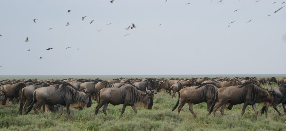 Wildebeest following the rains in search of fresh grazing