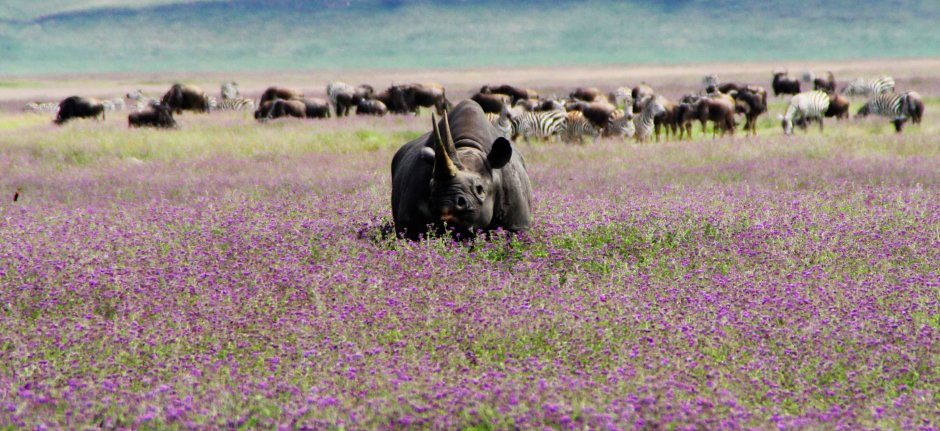 Black Rhino in blooming Ngorongoro Crater floor